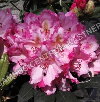Rhododendron Guyens Fasching