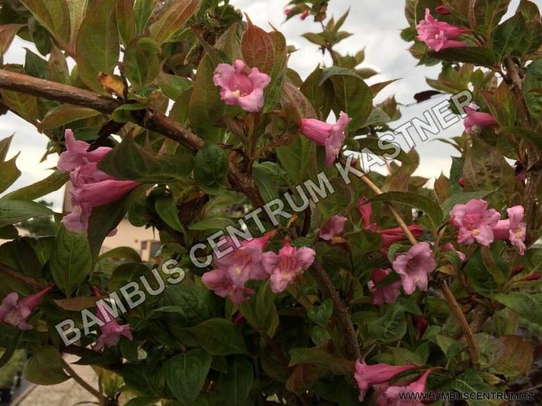 Weigela florida 'Wings of Fire' – Vajgélie růžová