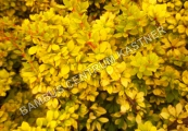 Berberis thunbergii 'Sunsation' – Dřišťál Thunbergův