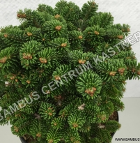 Abies nordmaniana 'Hunnewelle WB'