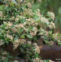 Cotoneaster glaucophylla