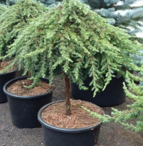 Juniperus communis 'Green Mantle'