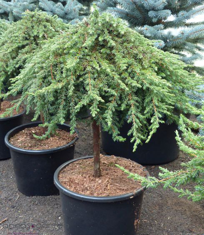 Juniperus communis 'Green Mantle' – Jalovec obecný