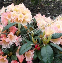 Rhododendron 'Aureolin'