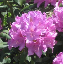 Rhododendron 'Pink Purple Dream'