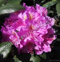 Rhododendron Pink Purple Dream