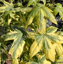 Liquidambar styraciflua Golden Treasure
