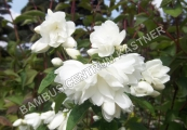 Philadelphus 'Little White Love' – Nepravý jasmín
