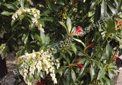 Pieris japonica 'Forest Flame' – Pieris japonský
