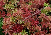 Pieris japonica 'Mountain Fire' – Pieris japonský