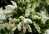 Pieris japonica 'Purity' – Pieris japonský