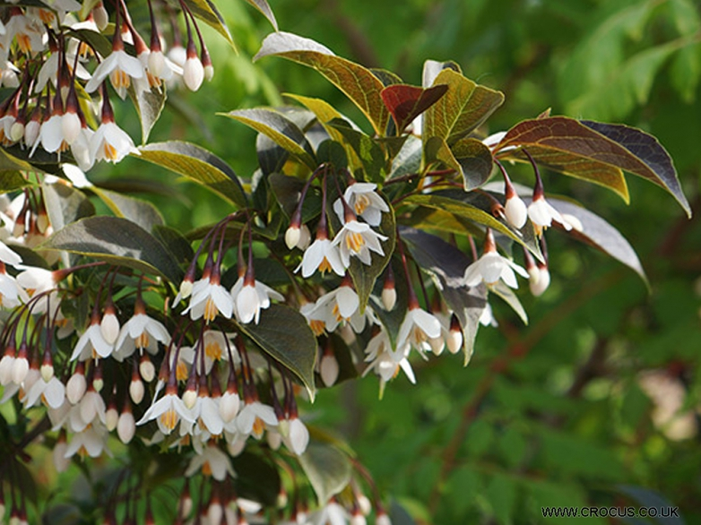 Styrax japonicus 'Evening Light' – Styrač japonský