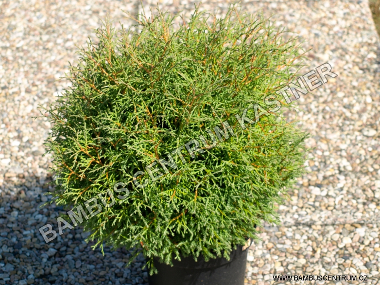 Thuja occidentalis 'Mr. Bowling Ball' – Zerav západní