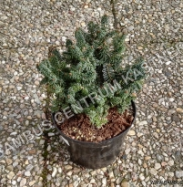 Abies balsamea Piccolo