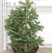 Abies delavayi 'Green Giant