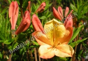 Azalea knap-hill 'Golden Flare'