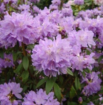 Rhododendron impeditum 'Blue Tit Magor'