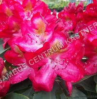Rhododendron Inkarho 'Junifeuer'