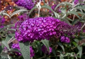 Buddleja Buzz 'Pink Purple' – Komule