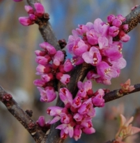 Cercis canadensis Little Woody