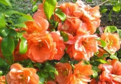Chaenomeles superba 'Orange Trail' – Kdoulovec nádherný