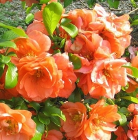 Chaenomeles superba 'Orange Trail'