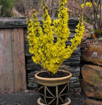 Forsythia intermedia Nimbus