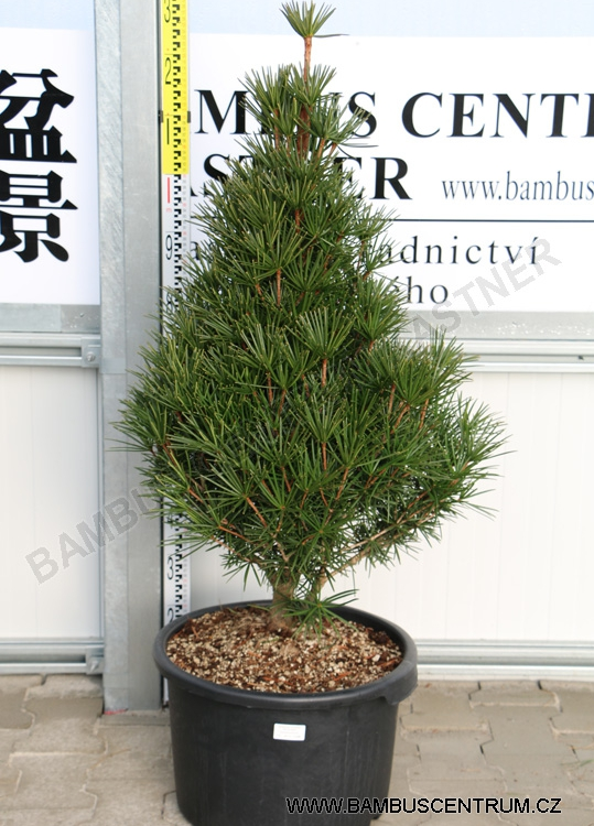 Sciadopitys verticillata 'Beauty Green'
