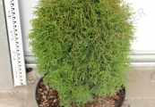 Thuja occidentalis 'Green Egg' – Zerav západní