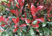 Photinia fraseri 'Little Red Robin' – Blýskalka