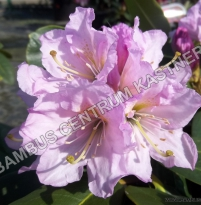 Rhododendron Inkarho 'Dufthecke lilac'