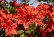 Azalea knap-hill 'Royal Command'