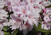 Rhododendron Inkarho 'Dufthecke roze'