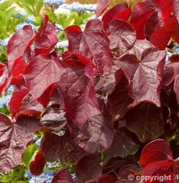 Cercis canadensis Red Force