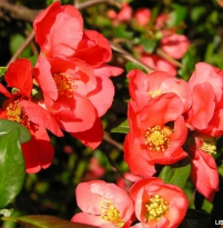 Chaenomeles japonica Red Joy