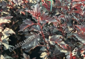 Physocarpus opulifolius 'All Black' – Tavola kalinolistá