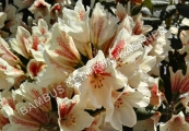 Rhododendron 'Amber Kiss'