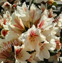 Rhododendron Amber Kiss