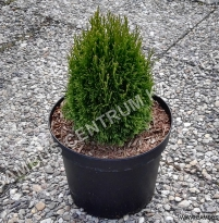Thuja occidentalis Maks