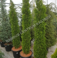 Thuja occidentalis Toskana Smaragd