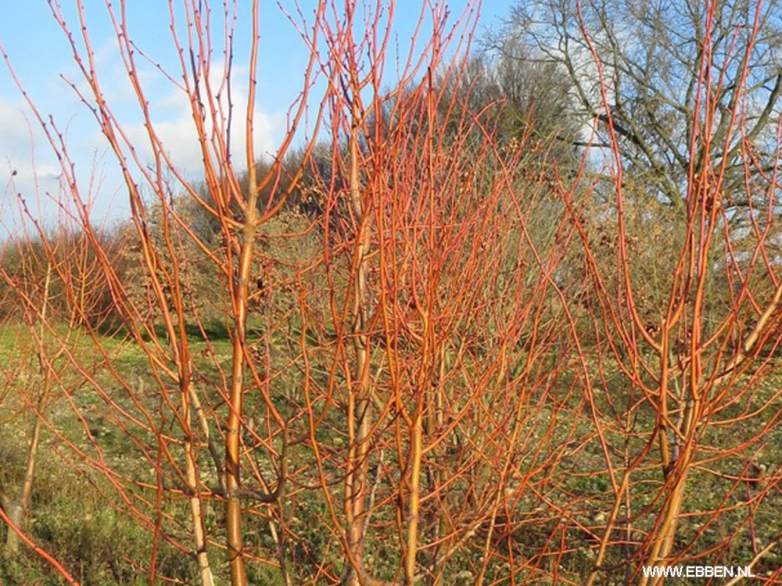 Tilia cordata 'Winter Orange' – Lípa srdčitá