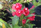 Weigela 'All Summer Red' – Vajgélie