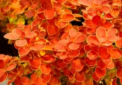 Berberis thunbergii 'Orange Ice' – Dřišťál Thunbergův