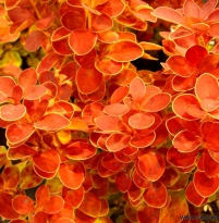 Berberis thunbergii Orange Ice