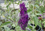 Buddleja davidii 'Groovy Grape' – Komule Davidova