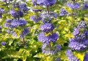Caryopteris clandonensis 'Good as Gold' – Ořechoplodec