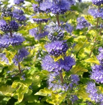 Caryopteris clandonensis Good as Gold