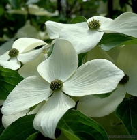 Cornus angustata Empress of China