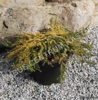Juniperus communis Lemon Carpet