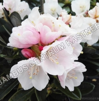 Rhododendron pachysandrum Silber Velour